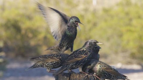 WILDLIFE ENTHUSIAST FILMS REAL-LIFE ANGRY BIRDS AS STARLINGS COME TO BLOWS Image