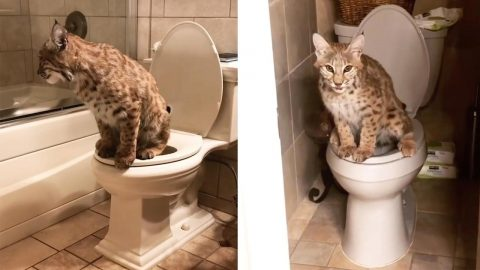 EXOTIC PAIR OF BOBCATS FOREGO KITTY LITTER AND INSTEAD USE THE TOILET LIKE THEIR OWNERS IN HILARIOUS VIDEOS Image