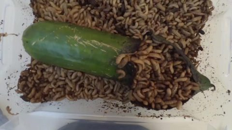 CAPTIVATINGLY GROSS VIDEO SHOWS HOW 3000 MAGGOTS DEVOUR CUCUMBER IN LESS THAN A DAY Image