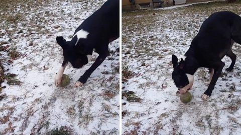 UNLUCKY DOG CAN'T PLAY WITH ITS FAVOURITE BALL AS IT'S FROZEN TO GROUND Image