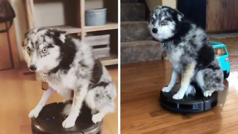 DOG SKIPS WALKIES FOR A RIDE ON ROBOT VACUUM CLEANER Image