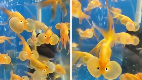 AQUARIUM KEEPER FILMS ADORABLE GOLDFISH WITH HUGE PUFFY CHEEKS Image