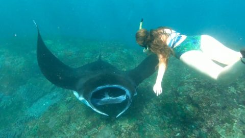 LUCKY SNORKELLER SWIMS UP CLOSE TO MANTA RAYS Image