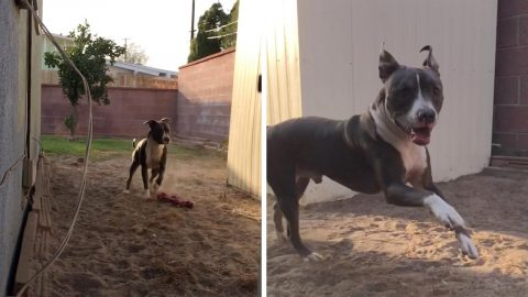 PLAYFUL SERVICE DOG FOREGOES FETCH FOR A GAME OF HIDE AND SEEK Image