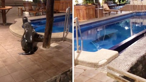 SWIMMING POOL GETS THE SEAL OF APPROVAL AS SEA LION TAKES A DIP Image