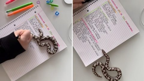 FASCINATING VIDEO OF WOMAN STUDYING WITH PET SNAKE GOES VIRAL Image