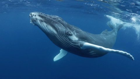 STUNNING PHOTOS SHOW HUMPBACK WHALES IN THE SOUTH PACIFIC Image
