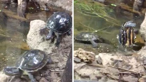 HILARIOUS MOMENT TURTLE FALLS OVER CAUGHT ON CAMERA Image