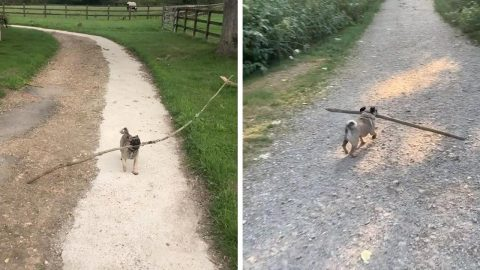 SMALL PUG, BIG STICK! SMALL PUP CONSTANTLY HUNTS DOWN THE LONGEST STICKS HE CAN FIND Image