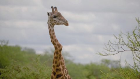 KEEP YOUR HEAD UP – GIRAFFE APPEARS UNFAZED BY CROOKED NECK Image