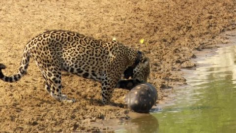 WHAT THE SHELL? CRAFTY TORTOISE USES SHELL TO PROTECT ITSELF FROM HUNGRY JAGUAR Image