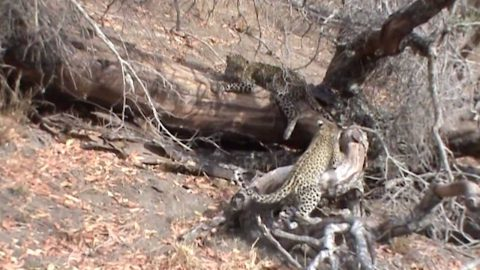 PLAYFUL LEOPARD CUB SPRINGS INTO ACTION AFTER FAILED SNEAK ATTACK ON SIBLING Image