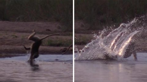CLUMSY BABOON MAKES SPLASH WHILE TRYING TO CROSS RIVER Image