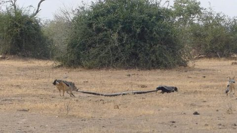 PYTHON, HONEY BADGER AND A PAIR OF JACKALS ENGAGE IN EPIC THREE-WAY BATTLE Image