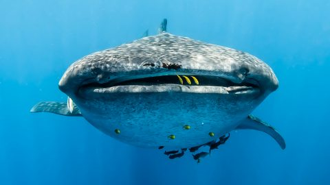 STUNNING PHOTOS SHOW GIANT WHALE SHARK WITH GOLDEN TEETH Image