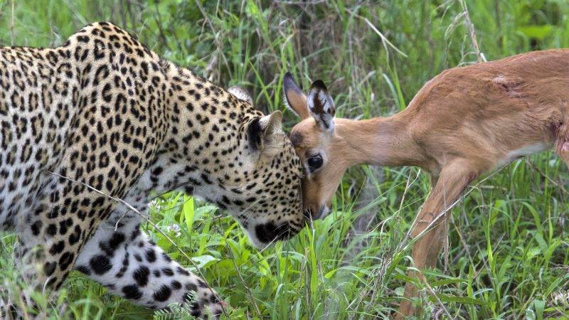 HUNGRY LEOPARD CAUGHT ON CAMERA PLAYING WITH IMPALA MOMENTS BEFORE EATING IT Image