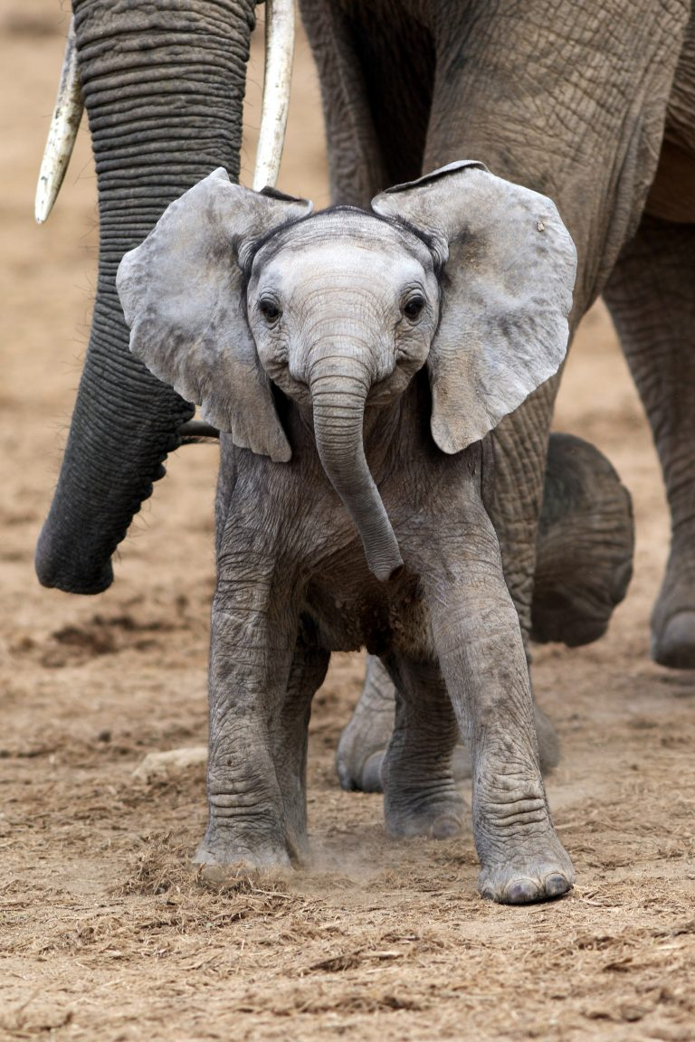 » SAY CHEESE! ADORABLE MOMENT BABY ELEPHANT APPEARS TO ...