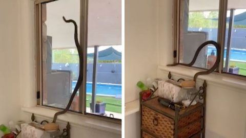 SNAKES ON A PANE! AUSTRALIA'S DEADLIEST SNAKE DISCOVERED SLITHERING UP WOMAN'S WINDOW Image