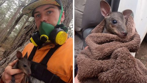 FEARLESS AUSSIE FARMER SAVES BABY KANGAROO FROM BLAZING FIRES IN HEARTBREAKING RESCUE AS BUSHFIRES CONTINUE TO TEAR AUSTRALIA APART Image
