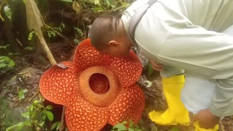 WORLD'S BIGGEST FLOWER IN GLORIOUS FULL BLOOM – BUT IT DIED AFTER JUST ONE WEEK Image