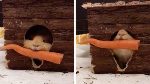 PERSISTENT GUINEA PIG TRIES AND FAILS TO DRAG HUGE CARROT THROUGH TINY DOOR TO HIS HOUSE Image
