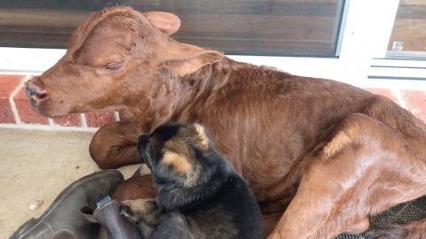 GIVE A DOG A BOVINE! ORPHANED CALF ADOPTED BY FAMILY OF GERMAN SHEPHERD BREEDERS NOW THINKS HE'S A DOG Image
