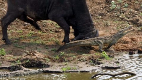 CROCODILE GETS IN THE WAY OF ANGRY BUFFALO ON THE WRONG DAY AS HE CHARGES THE CROCODILE OUT OF HIS WAY Image