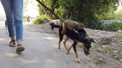 ADORABLE DOG GIVES PIGGYBACK RIDE TO ABANDONED MONKEY BABY SO SHE DOESN'T MISS HER MUM Image
