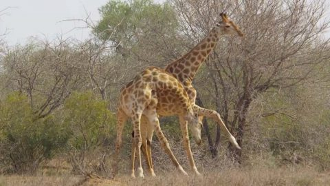 NECK-AND-NECK AS GIRAFFE BATTLE ENDS IN STALEMATE Image