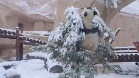 PLAYFUL PANDA DESTROYS TREE WHILE FROLICKING IN SNOW Image