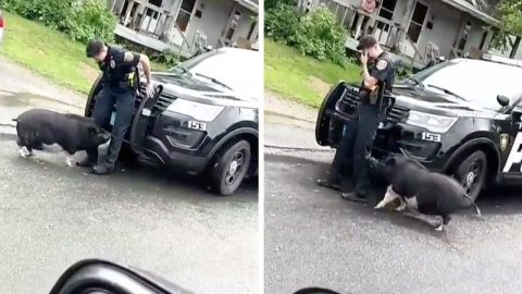 THIS REALLY TAKES THE BACON: VIDEO CAPTURES HILARIOUS MOMENT PET PIG CHASES POLICE OFFICER UP ON TO SQUAD CAR Image