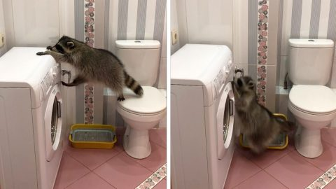 CLUMSY RACCOON MEETS HIS MATCH AS HE TRIES TO CLIMB WASHING MACHINE AND FAILS Image