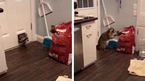HILARIOUS FOOTAGE SHOWS RACCOON BREAKING INTO HOUSE THROUGH THE CAT DOOR Image
