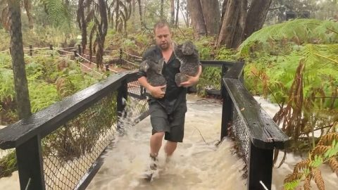 DRAMATIC RESCUE OF KOALAS AS KEEPERS FIGHT TO KEEP CROCODILES AT BAY IN FLOODED AUSTRALIAN ZOO Image