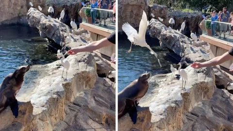 CHEEKY BIRD STEALS FISH THROWN AT SEA LION'S MOUTH Image