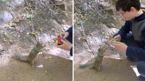 CLEVER SQUIRREL THINKS IT CAN SOLVE RUBIK'S CUBE Image
