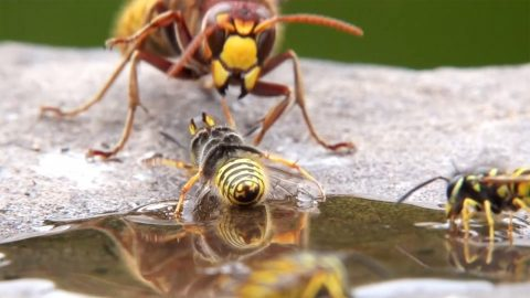 HUGE HORNET ATTACKS WASPS DRINKING FROM SUGAR WATER EVEN GRABBING ONE OUT OF THE AIR Image