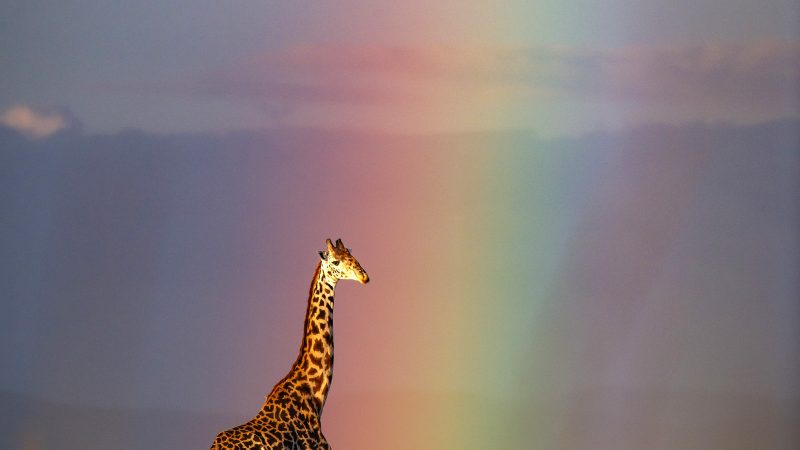 THINGS ARE LOOKING UP - GIRAFFES CAUGHT AT THE END OF RAINBOW Image