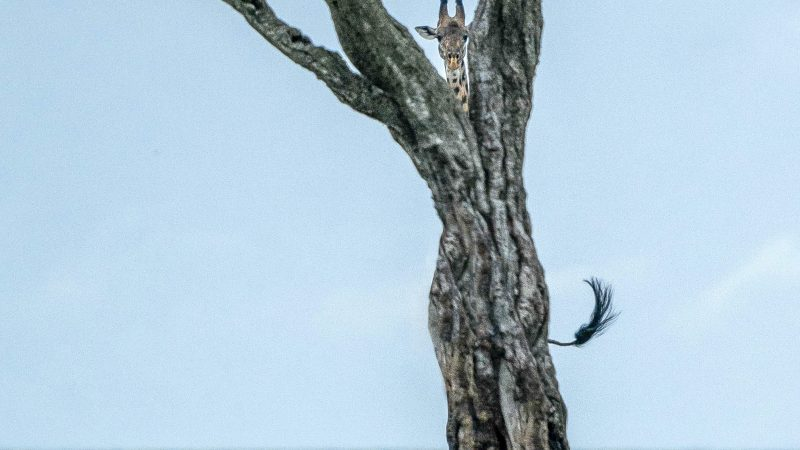 HIDE AND SEEK – GIRAFFE HIDES BEHIND TREE BUT HEAD AND TAIL GIVE GAME AWAY Image