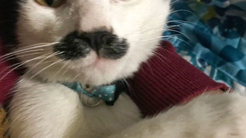 HERCULE PURR-OT - MOUSTACHED CAT LOOKS LIKE THE FAMOUS DETECTIVE Image