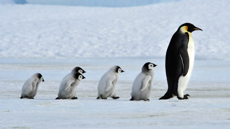 PENGUIN LINE UP - CUTE MOMENT FAMILY OF PENGUINS WALK IN LINE IN ANTARCTICA Image