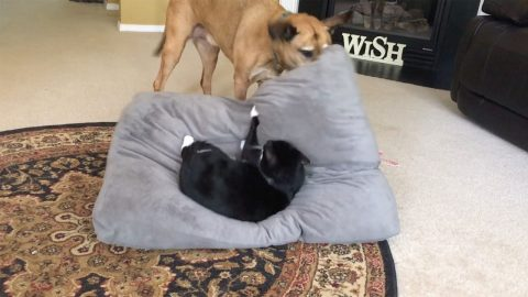 FED-UP DOG KICKS CAT OUT OF HIS BED Image