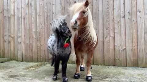 HOT TO TROT! PONIES FIND LOVE ONLINE AND ENJOY ROMANTIC VALENTINES DATE IN HILARIOUS NEW VIDEO Image