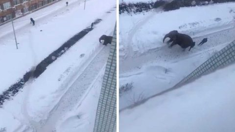 ELLIE THE ELEPHANT PACKED HER TRUNK AND SAID GOODBYE TO THE CIRCUS AS RUNAWAY ANIMAL FROLICS IN THE SNOW IN RUSSIAN CITY Image