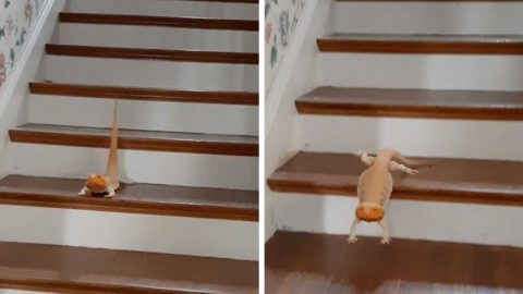 ADORABLE LIZARD SLIDES DOWN STAIRS ON HIS OWN Image