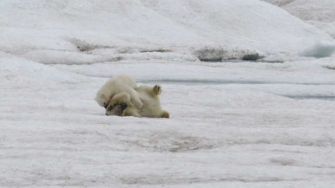 ENERGETIC POLAR BEAR CUBS USE THE SEA AND ICE AS THEIR PLAYGROUND Image
