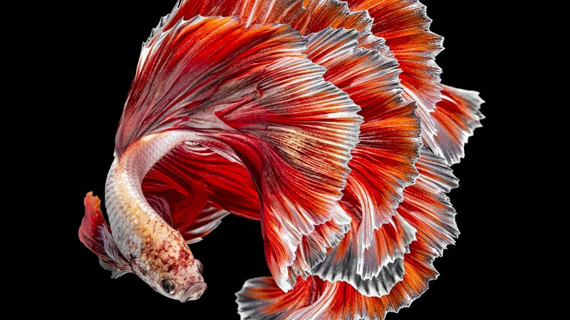 TOUGH GUY! STUNNING COLOURFUL PHOTOS SHOW SIAMESE FIGHTING FISH UP CLOSE AND PERSONAL Image