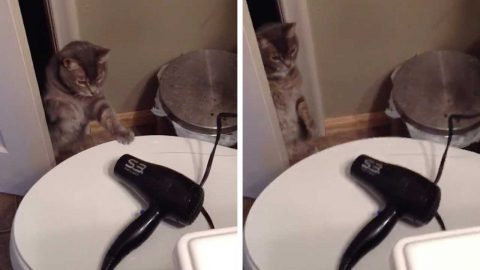 CAT TACKLES HAIR DRYER NEMESIS IN AMUSING VIRAL CLIP Image
