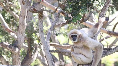 GIBBON SUFFERING WITH DIABETES HAS STATE-OF-THE-ART TECHNOLOGY FITTED TO TRACK HER GLUCOSE LEVELS Image