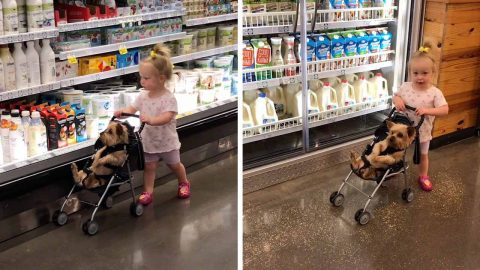 ADORABLE VIDEO SHOWS TODDLER PUSHING HER DOG AROUND THE SUPERMARKET IN A BUGGY Image